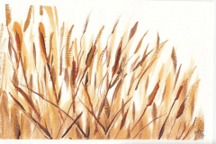 study of wheat